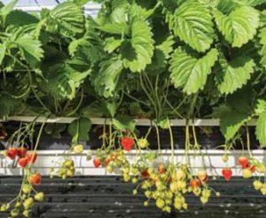 plant-fraises-news_CS